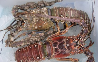 Florida Spiny Lobster Photo by Maureen Cavanaugh Berry