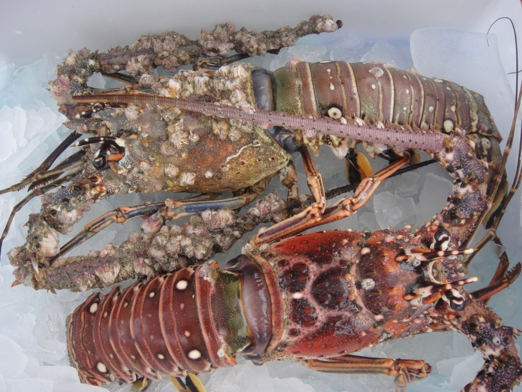 Fish on friday florida spiny lobster maureen c berry for Ocean fish market orlando fl