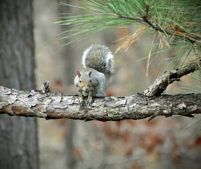 Grey-squirrel-on-lobloly-pi