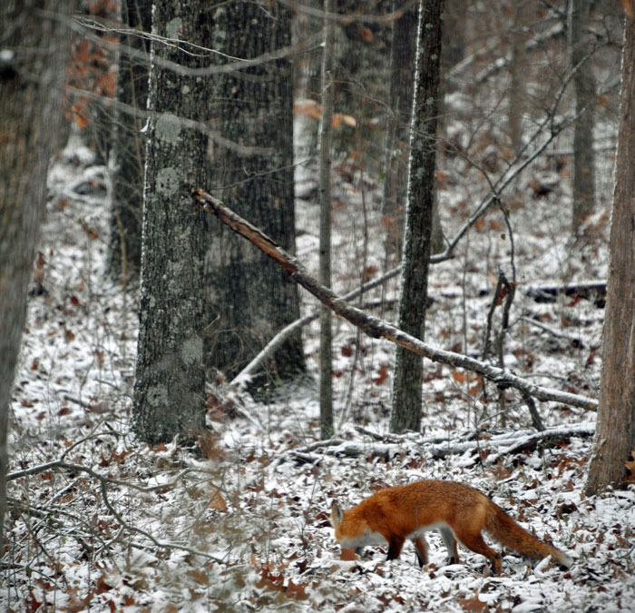 Red-Fox-in-Snow