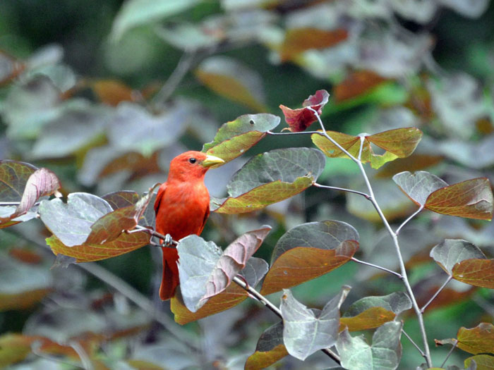 Red-tanager
