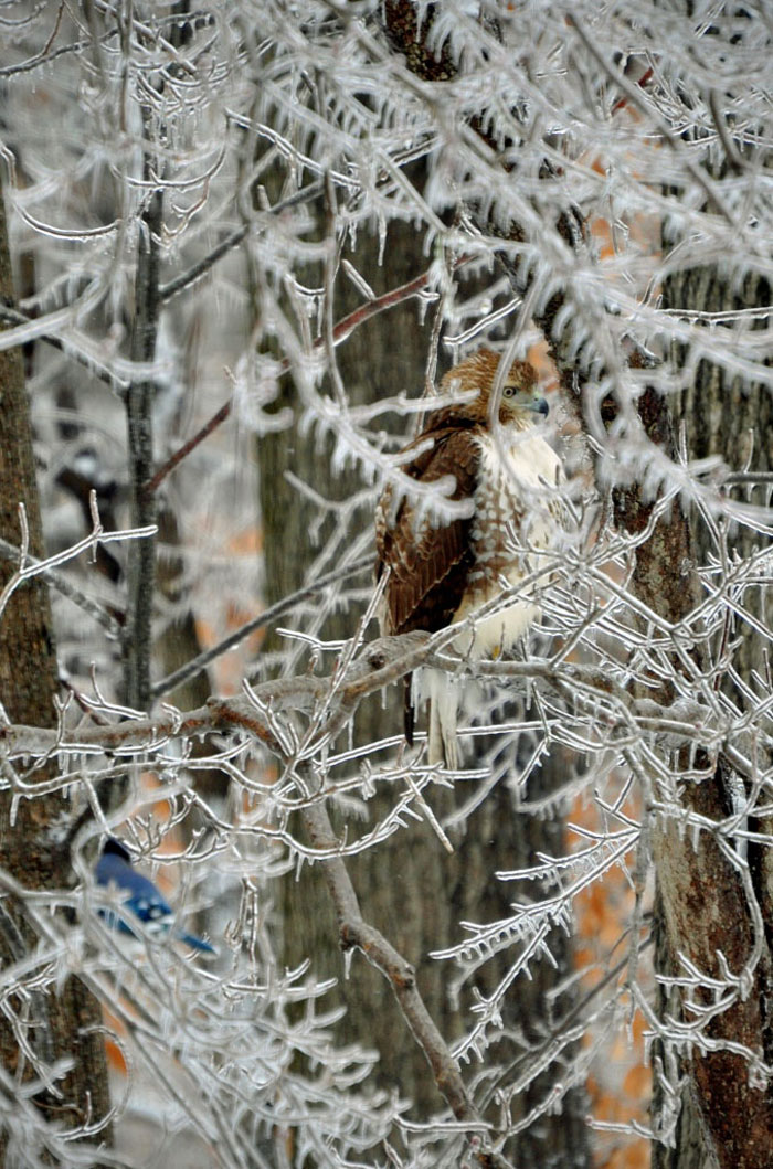 Redtailed Hawk on Iced Hick