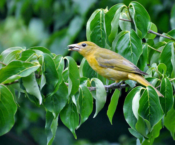Tanager-with-bug