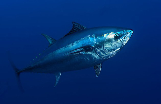 The Hopeful Pacific Bluefin Tuna: A Poem