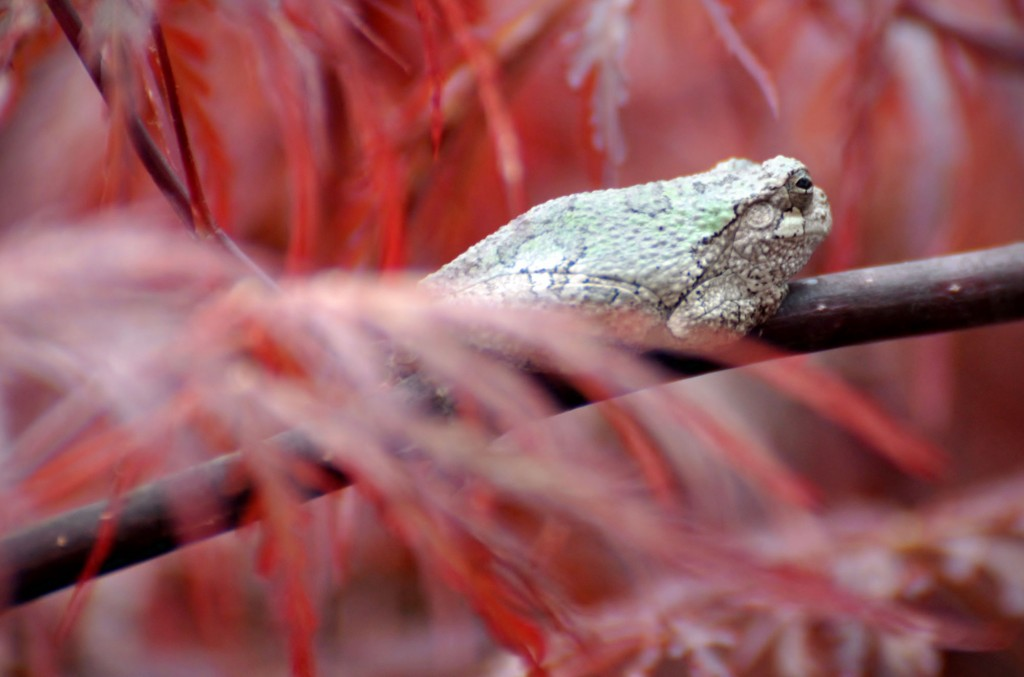 Gray tree frog in Japanese Maple