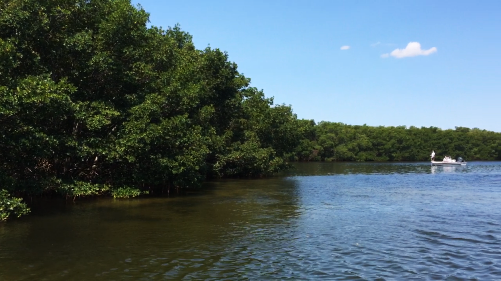 Scouting for snook in a mangrove cove in Tampa Bay, Florida
