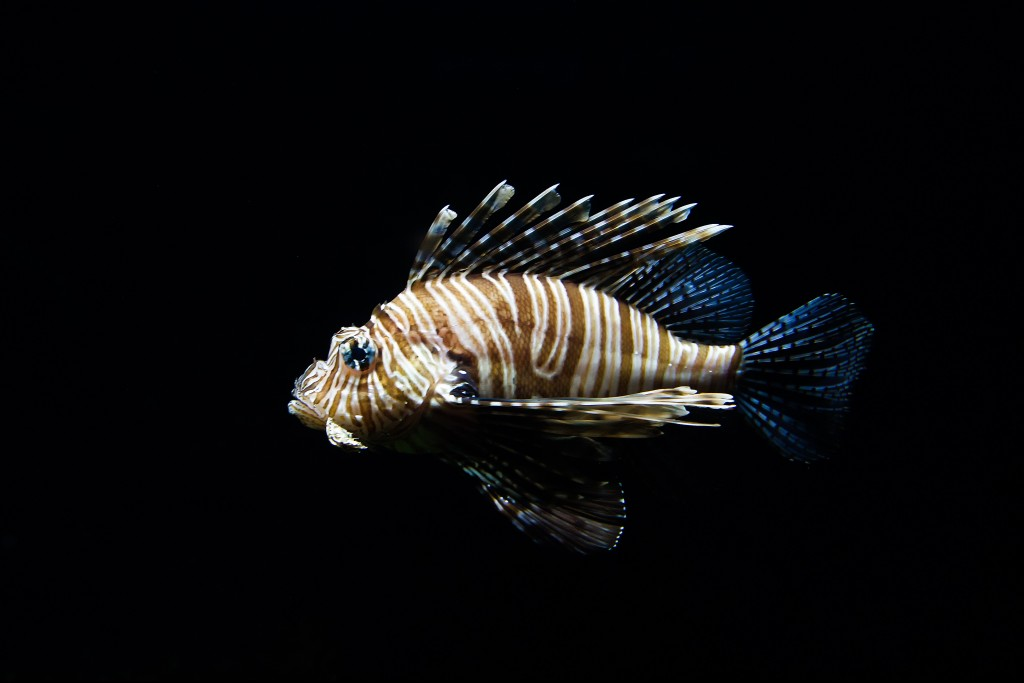 L is for lionfish